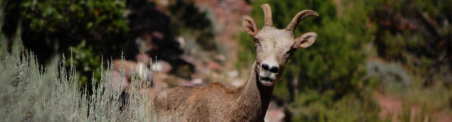 Big horn sheep and other wildlife Roam Free!